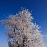 Tops de árboles cubiertos con escarcha Fotografía de archivo libre de regalías