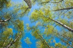 Tops de árboles de abedul con las hojas jovenes Imágenes de archivo libres de regalías