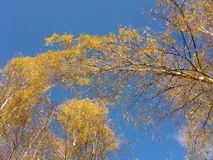 Tops de árboles de abedul del otoño Imagen de archivo libre de regalías