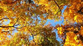 Tops de árboles en Autumn Forest almacen de metraje de vídeo