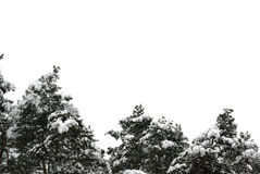 Tops de árboles spruce en la nieve Fotografía de archivo libre de regalías