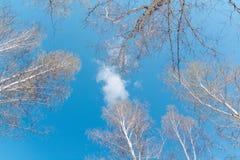 Tops de abedules abedules contra la perspectiva del cielo azul Imagen de archivo libre de regalías