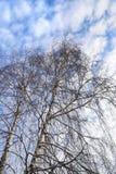 Tops de abedules contra un cielo azul Fotografía de archivo