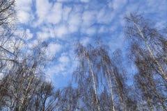 Tops de abedules contra un cielo azul con las nubes blancas Foto de archivo