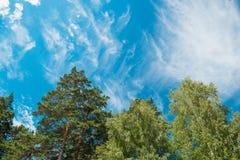 Tops de abedules y de árboles de pino contra un cielo azul con las nubes d Imagen de archivo