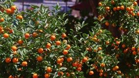 Tops de los árboles de mandarín en mercado callejero en la luz del sol brillante almacen de metraje de vídeo