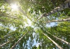 Tops de los árboles y del sol de abedul Imagen de archivo libre de regalías