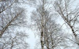 Tops de los abedules blancos contra el cielo del invierno Fotos de archivo libres de regalías