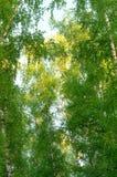 Tops de los abedules, hojas del verde Fotos de archivo libres de regalías