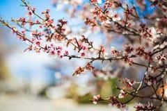 Tops de los ?rboles japoneses de la flor de cerezo de la primavera a principios de abril fotos de archivo