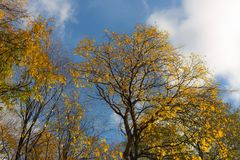 Tops of deciduous trees Royalty Free Stock Images