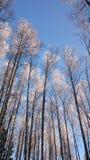 Tops del árbol Foto de archivo