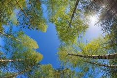 Tops del árbol contra el cielo azul Fotos de archivo libres de regalías