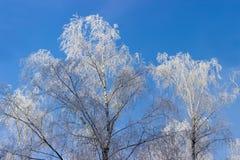Tops del árbol cubiertos con helada en el fondo del cielo Foto de archivo libre de regalías