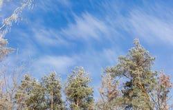 Tops del árbol cubiertos con helada en el fondo del cielo Fotografía de archivo