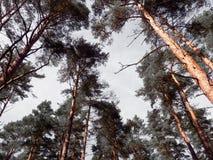 Tops del árbol de pino Imagenes de archivo