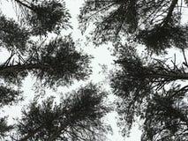 Tops del árbol de pino Fotografía de archivo
