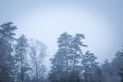 Tops del árbol en cierre para arriba Imagen de archivo
