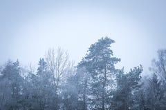 Tops del árbol en cierre para arriba Imágenes de archivo libres de regalías