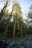Tops del árbol en el sol del invierno foto de archivo libre de regalías