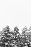 Tops del árbol Nevado Imagen de archivo