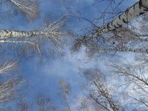 Tops del cielo azul y del árbol Foto de archivo libre de regalías