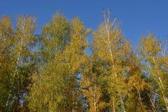 Tops del verde amarillo de árboles de hojas caducas contra el cielo Imagen de archivo libre de regalías