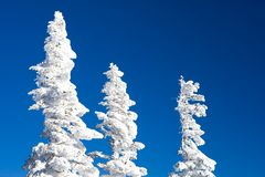 Tops of fir trees Stock Image