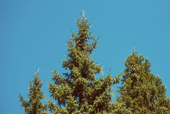 The tops of the fir trees Stock Photos