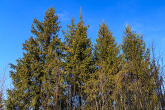 The tops of the fir trees. On a background of blue sky Royalty Free Stock Photo