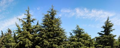 Tops of fir-trees on bright summer day Royalty Free Stock Photography