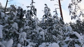 Tops of fir trees in forest. stock video footage