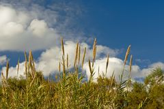 Tops of giant reed plants on a blue sky with soft white clouds. Tops of giant reeds on a blue sky with fluffy clouds in Guadalhorce river estuary nature reserve royalty free stock image