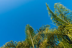 Tops of green palm trees with a blue sky background Royalty Free Stock Photography
