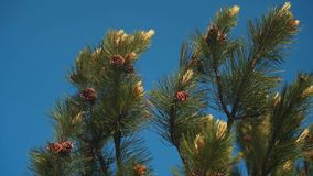 The tops of the green pine branches with young cones against the clear blue sky. stock footage