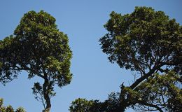 TOPS OF GREEN TREE AGAINST BLUE. View of the green tops of a tree against blue sky in summer stock image