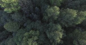 The tops of the green trees in the forest. The camera falls down. The wind rustling the branches of the mighty trees. Moscow oblast, Russia. The tops of the stock video