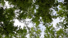Tops of green trees stock video