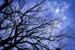 The tops of oak trees. Royalty Free Stock Photo