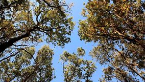 Tops of oaks swaying from the wind on blue sky. Tops of oaks swaying from the wind stock video
