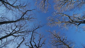 The tops of the oaks in winter. Blue sky, camera rotates about the axis stock video