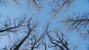 The tops of the oaks in winter. Blue sky, camera rotates about the axis stock video footage