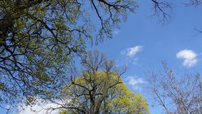 Tops of old trees against the blue sky in the spring. The awakening of nature. Low angle. Tops of old trees against the blue sky in the spring on a sunny day Royalty Free Stock Photos