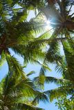 Tops of palm trees Royalty Free Stock Images