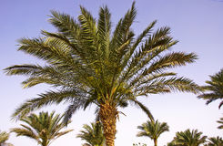 Tops of the palm trees. Against the blue sky Royalty Free Stock Photography