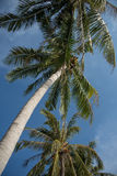 Tops of the palm trees against the blue sky with clouds Stock Images