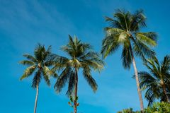 Tops of palm trees against the blue sky. The tops of the palm trees against the blue sky, the trees large leaves silhouette green royalty free stock image