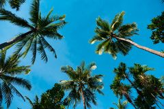 Tops of palm trees against the blue sky. The tops of the palm trees against the blue sky, the trees large leaves silhouette green royalty free stock photography