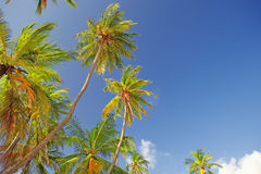 The tops of palm trees Royalty Free Stock Photos