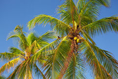 The tops of palm trees Royalty Free Stock Image